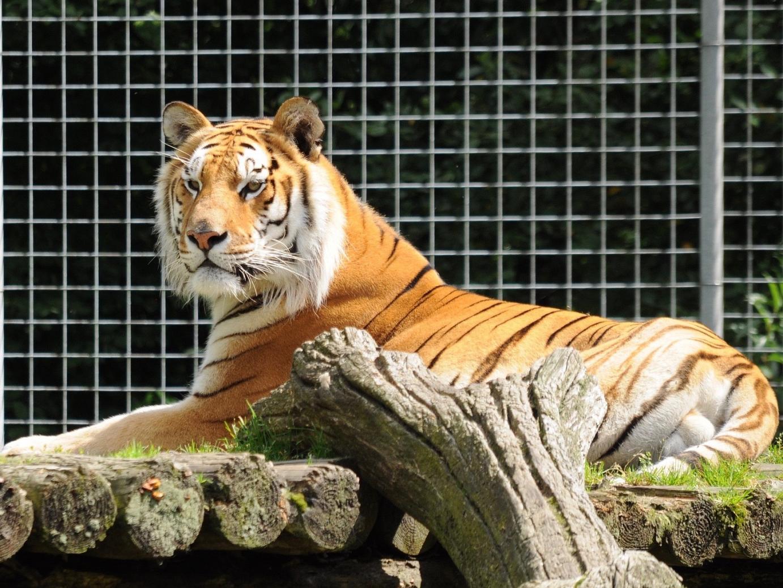 Wallersdorf Tiger